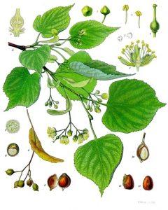 Ilustracion botanica de la planta de tila