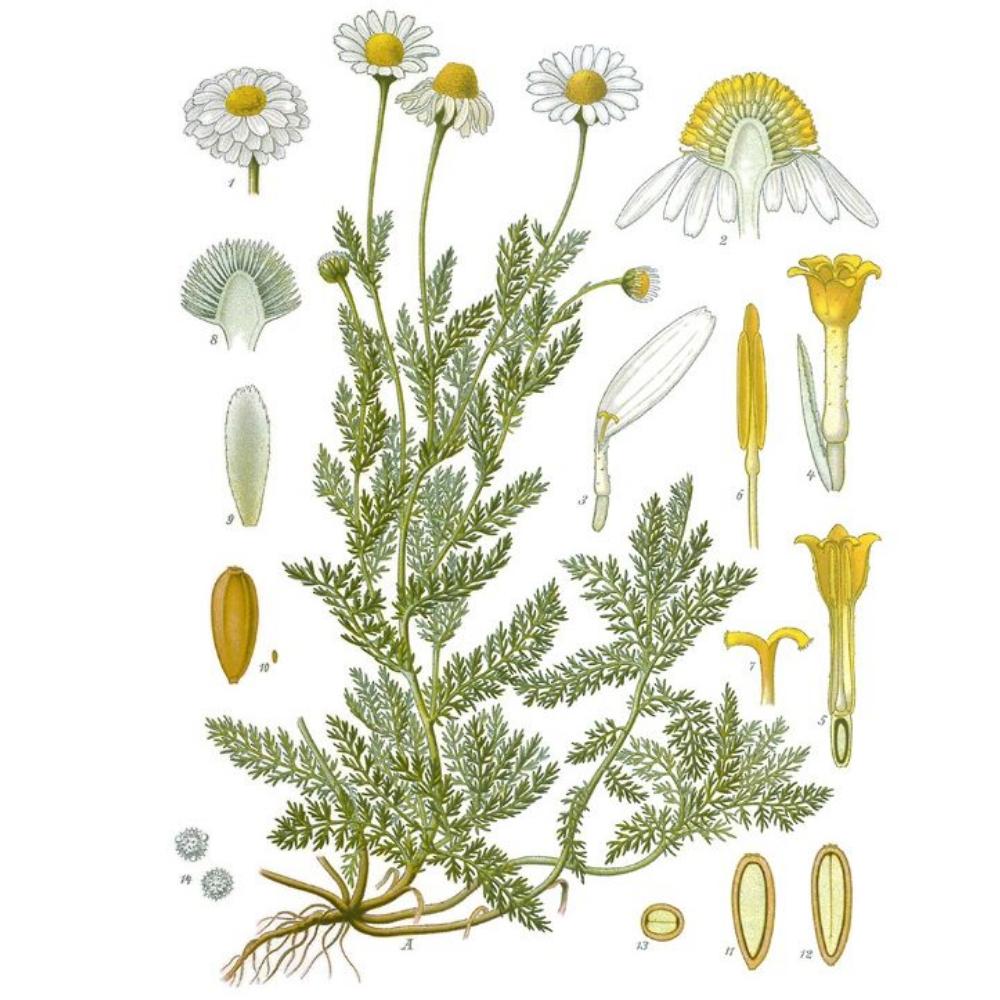 Flor de Manzanilla ecológica