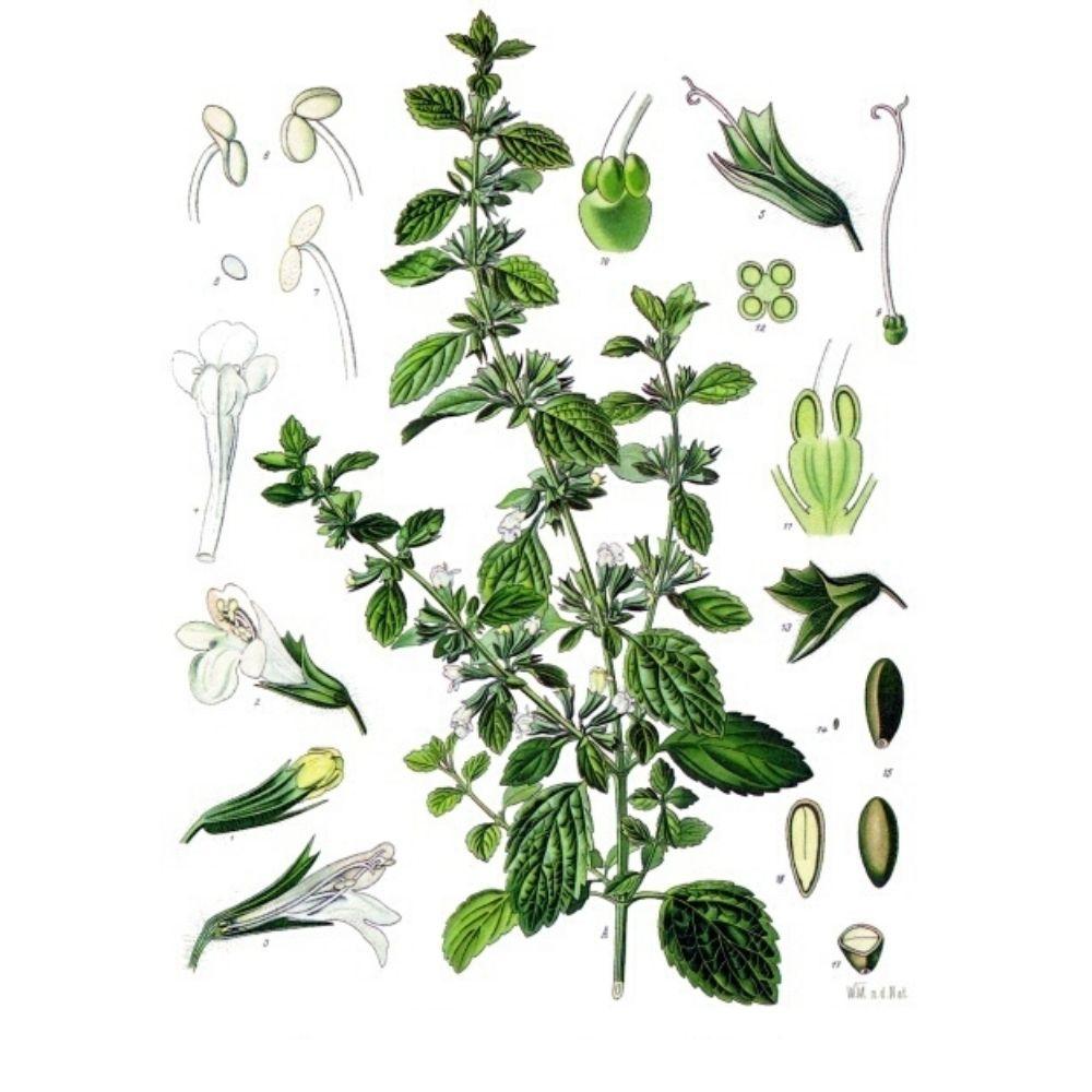 Infusión de Melisa ilustración botánica