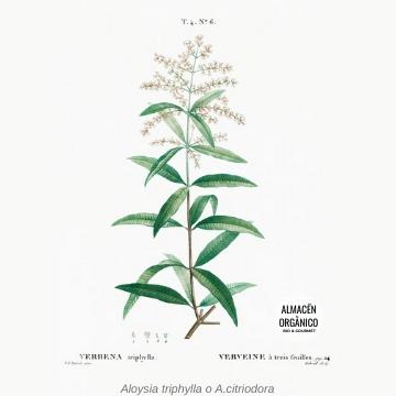 hierbaluisa dibujo botanico